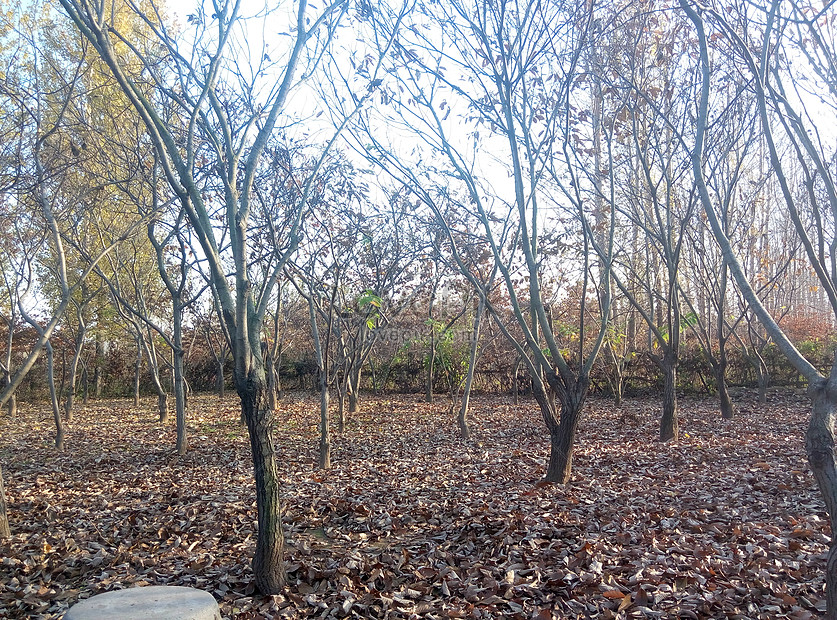 foto de Photo de châtaignier feuilles tombées automne_Numéro de l ...