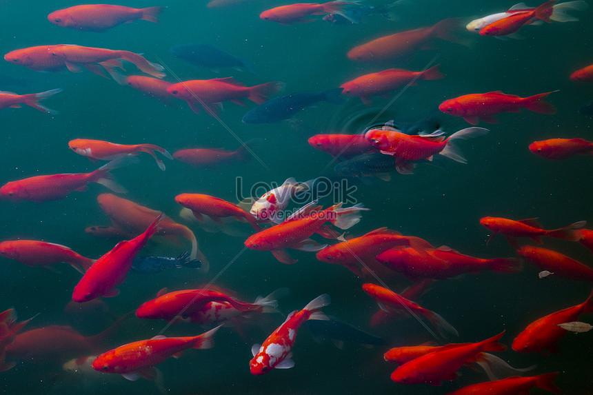Lovepik- صورة JPG-500183134 id صورة فوتوغرافية بحث - صور سمك
