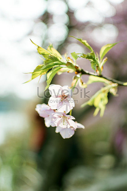 a close picture of cherry blossoms