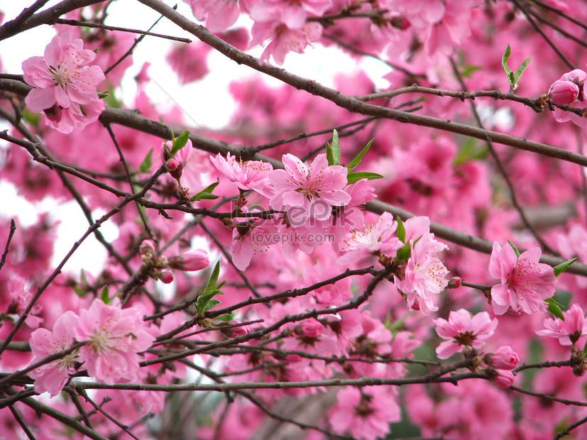 festival bunga sakura taman yuyuantan musim semi gambar unduh rh id lovepik com