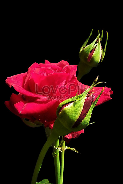 Black Background Of Rose Photo Image Picture Free Download 500359128 Lovepik Com