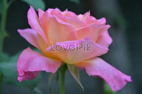 Lovepik صورة الخلفية Rosaceae صور Rosaceae 57