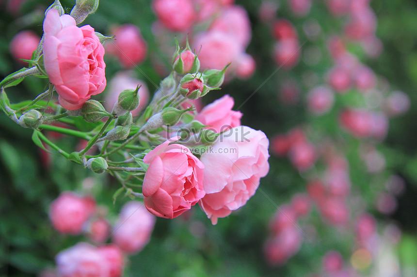 93+ Gambar Bunga Mawar Yang Mekar Paling Baru