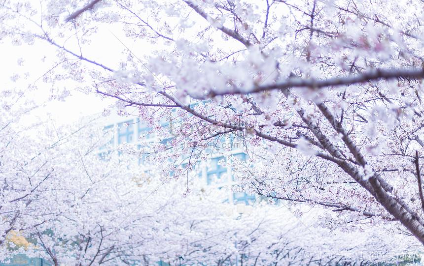 cherry blossom season in tongji university