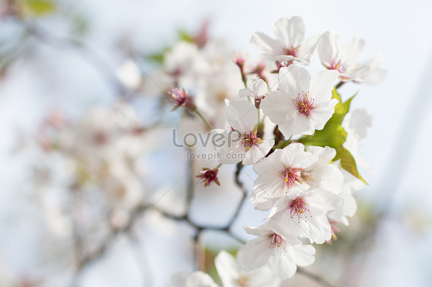 a picture of cherry blossoms