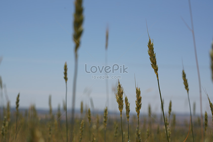 The Ears Of Wheat Flickering In The Sun Photo Image Picture Free