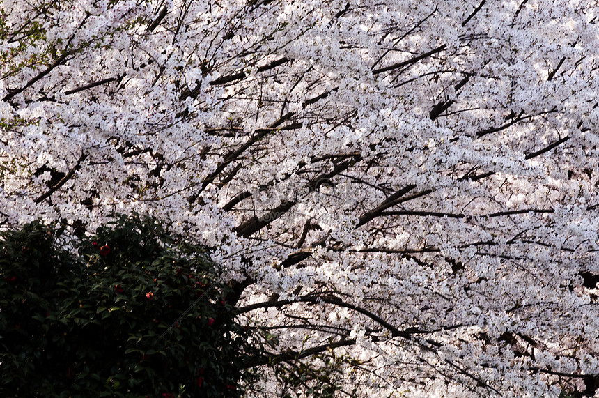 cherry blossoms in the botanical garden