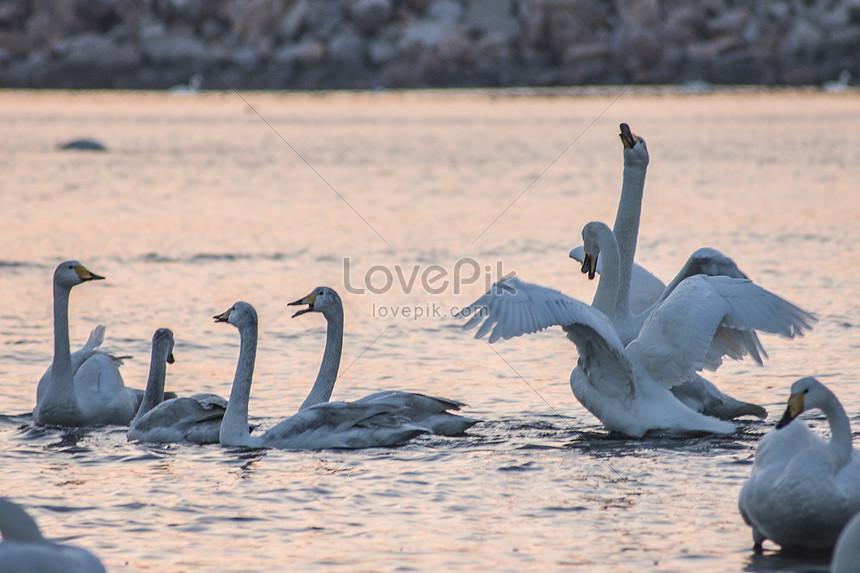 swan in swan lake