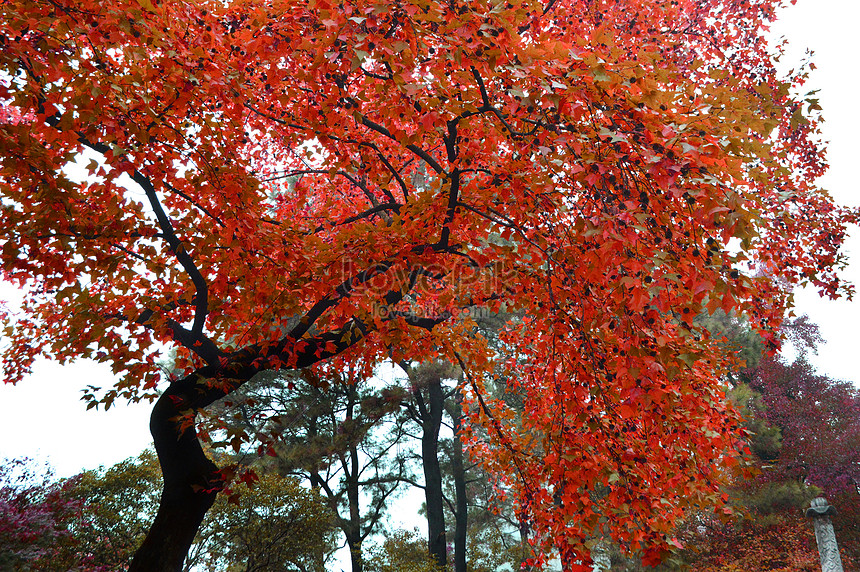 autumn red leaves of suzhou tian pingshan