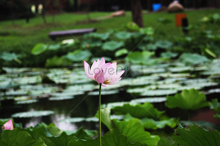 The Pink Lotus In The Pond Photo Imagepicture Free Download