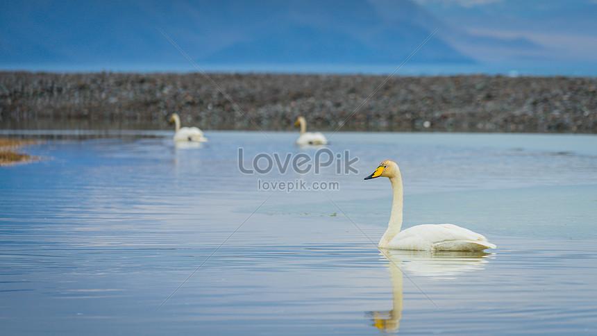 xinjiang swan lake