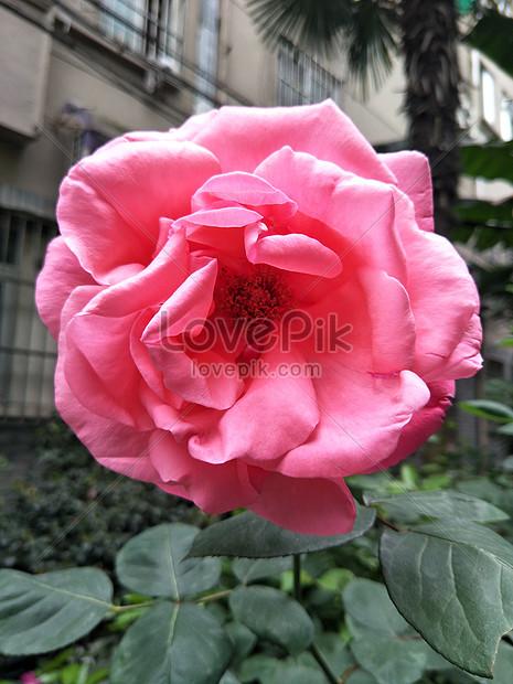 Bunga Mawar Yang Indah Gambar Unduh Gratis Foto 500709025 Format Gambar Jpg Lovepik Com