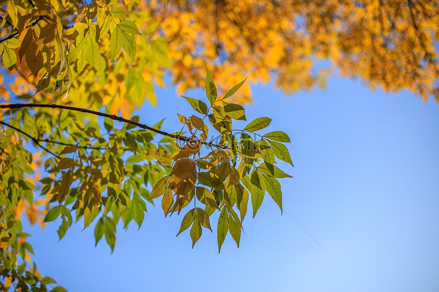 the yellow leaves in late autumn