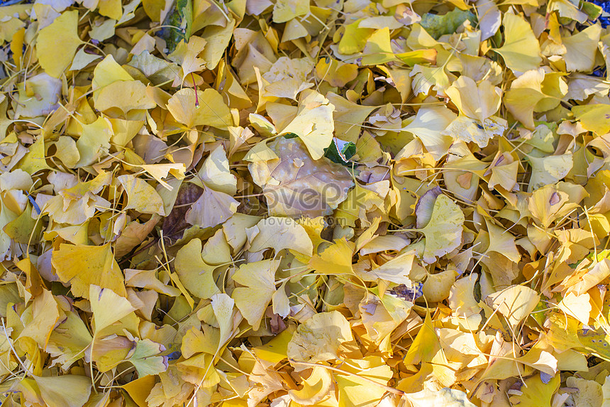 apricot leaves fall to the ground in late autumn