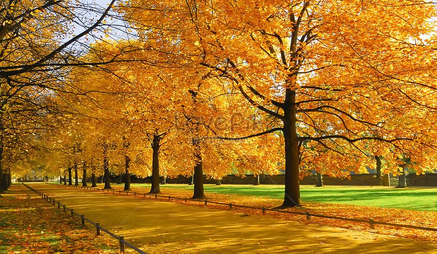 hutan maple musim gugur