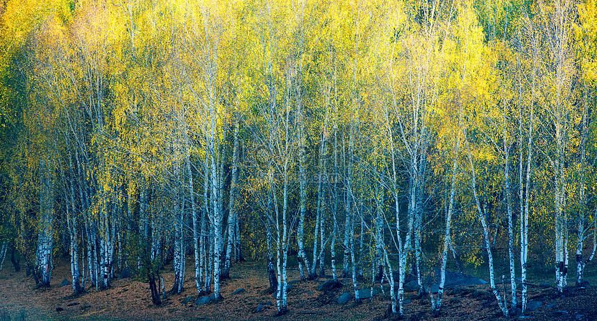 foto de Photo de forêt de bouleaux dautomne_Numéro de l ...