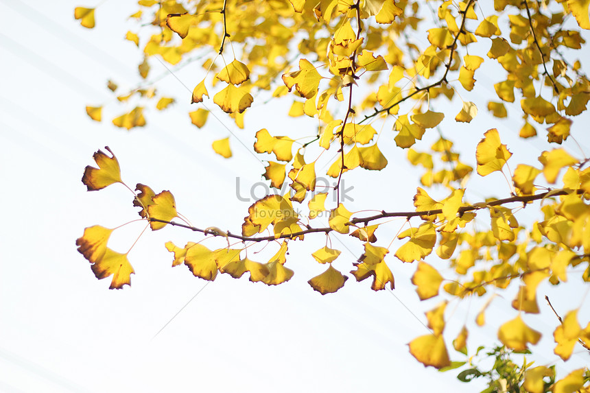 yellow gingko in autumn