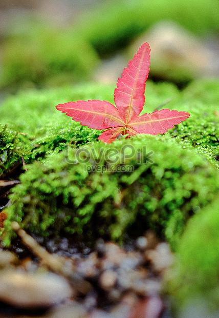 Daun Merah Pada Lumut Hijau Musim Gugur Gambar Unduh Gratis Imej 500744415 Format Jpg My Lovepik Com