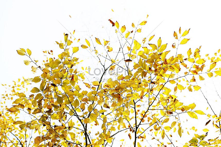 foto de Photo de feuille jaune_Numéro de l'image500749456_Format d'image ...