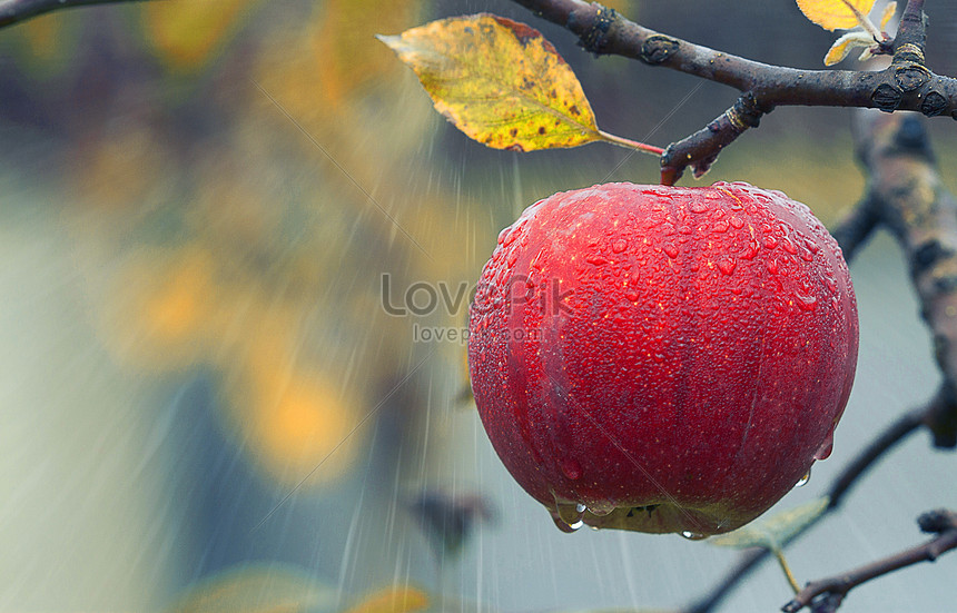 Love Apple Fruit Tree Images