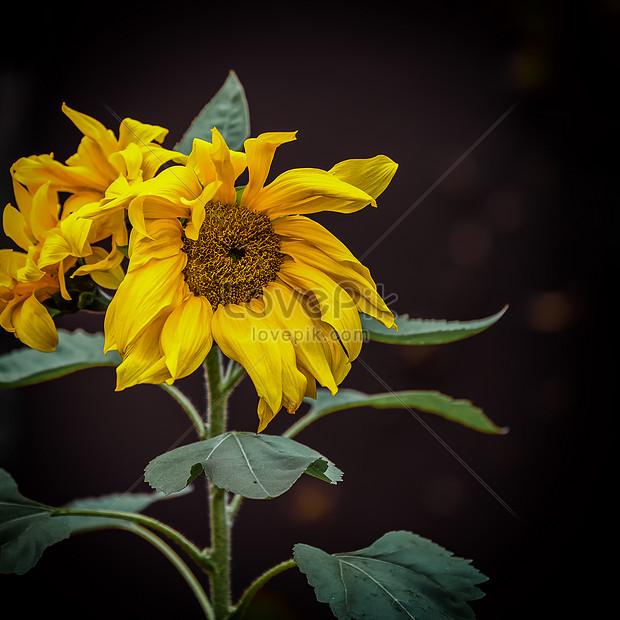 Bunga Matahari Mekar Yang Penuh Gairah Gambar Unduh Gratis Foto 500797542 Format Gambar Jpg Lovepik Com