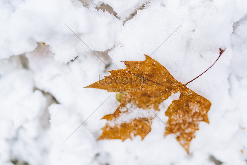 the deciduous leaves in the snow