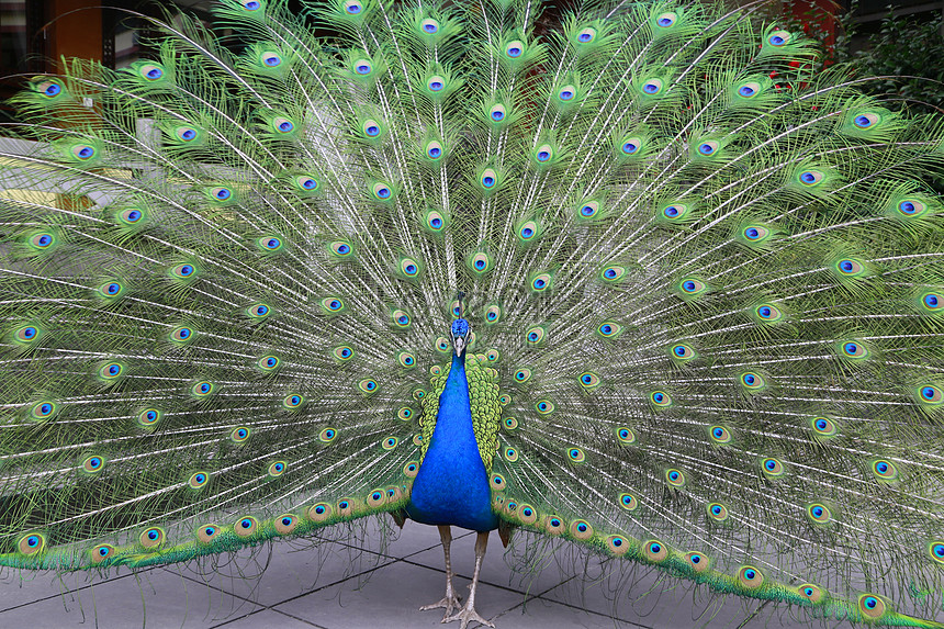 मोर चित्र डाउनलोड_तस्वीरPRFचित्र आईडी500823522_JPGचित्र  प्रारूप_in.lovepik.comमुफ्त की तस्वीर