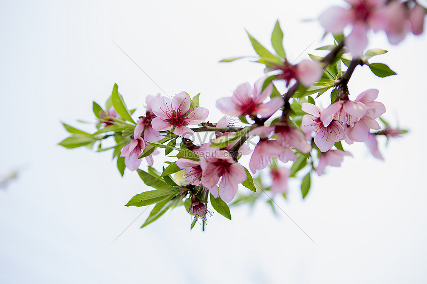pink peach blossoms in spring