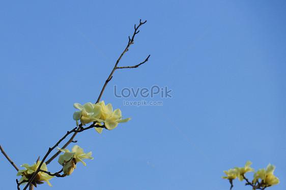 Ilustrasi Latar Belakang Langit Biru Bunga Magnolia Putih Gambar