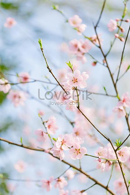Fiore Di Pesco Immagine Gratisfoto Numero 500847035download