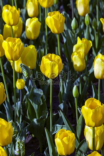 Bunga Tulip Nasional Belanda Gambar Unduh Gratis Foto 500863193 Format Gambar Jpg Lovepik Com