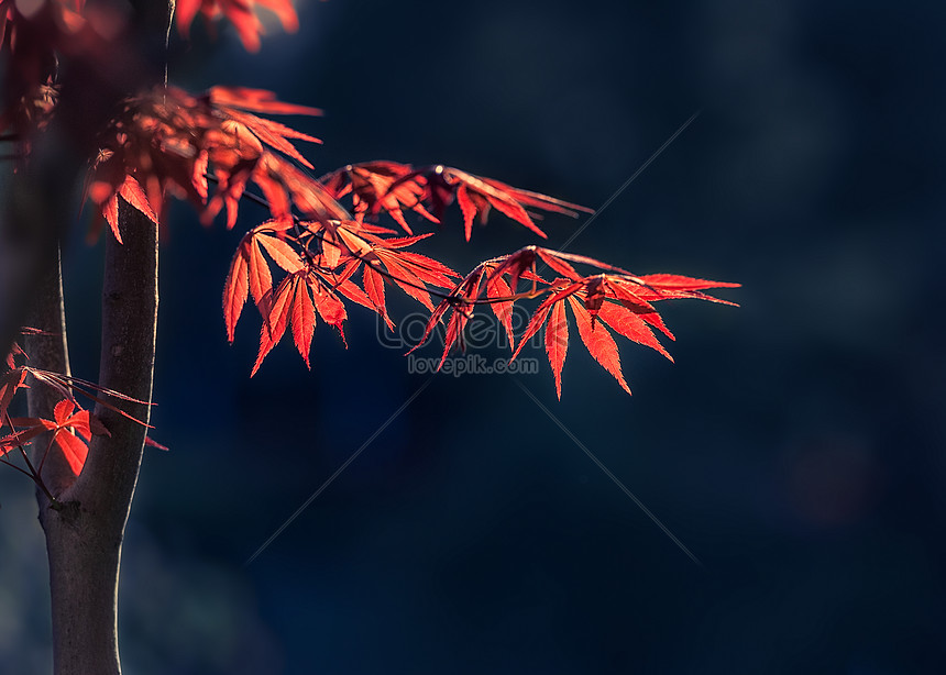 the red maple leaf in the sun