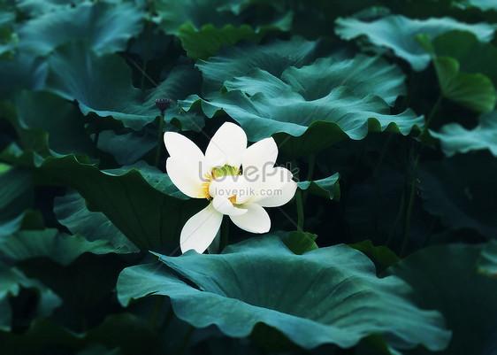 Lotus Flower Imagespicture 501005210mlovepik