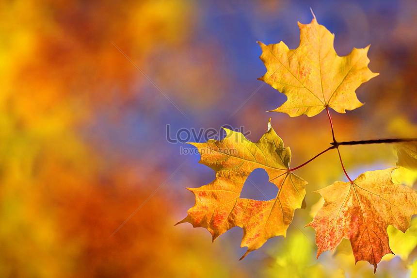 foto de Photo de feuilles dérable automne_Numéro de l ...
