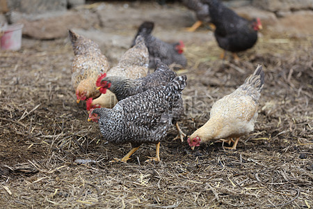 80 Gambar Ayam Sedang Makan HD