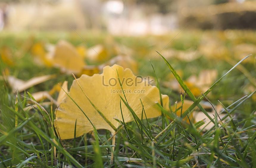 foto de Photo de ginkgo jaune doré laisse sur la pelouse du parc_Numéro de ...