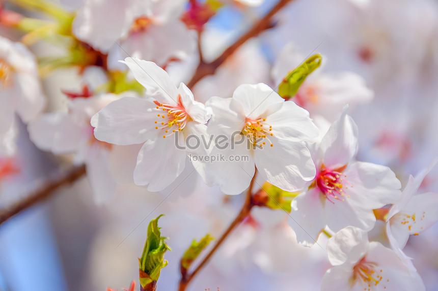cherry blossoms at gu cun park baoshan shanghai