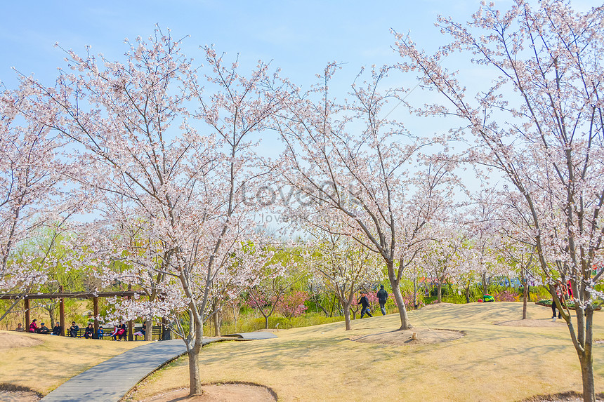 cherry blossoms at gu cun park baoshan shanghai