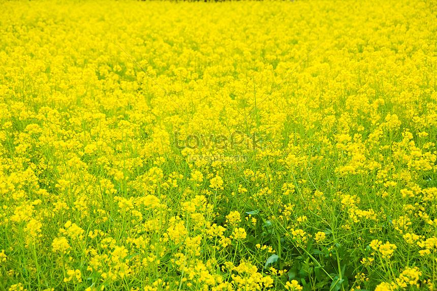 shanghai fengxian zhuang xing rape flower festival