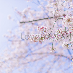 Cherry Blossoms Images of Photos, Vectors, Backgrounds Free Download on Lovepik