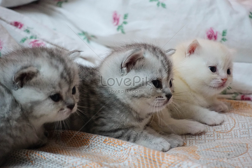Young Cat Photo Image Picture Free Download 501182930 Lovepik Com