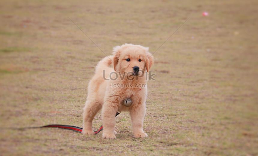 Anak Anjing Golden Retriever Gambar Unduh Gratis Foto 501183238 Format Gambar Jpg Lovepik Com