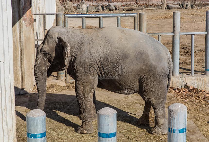 Gajah Asia Gambar Unduh Gratis Foto 501201772 Format Gambar