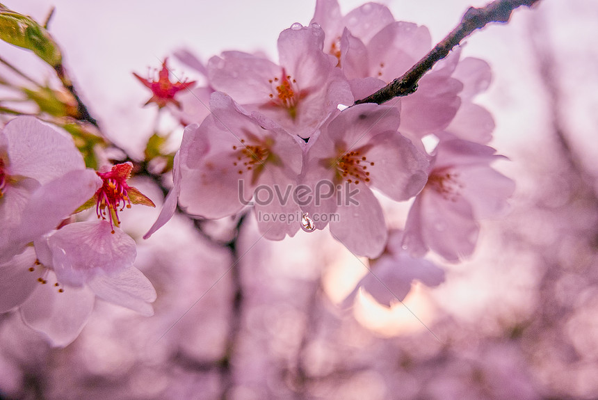 pink cherry blossoms in cherry blossom season