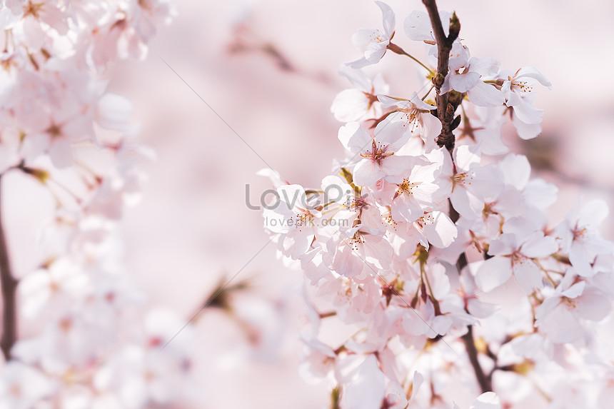 cherry blossom of wuhan university