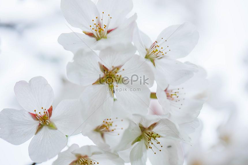Download 880 Koleksi Wallpaper Bunga Sakura Putih Paling Keren
