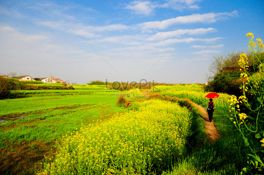 walking on the trail of rapeseed sea