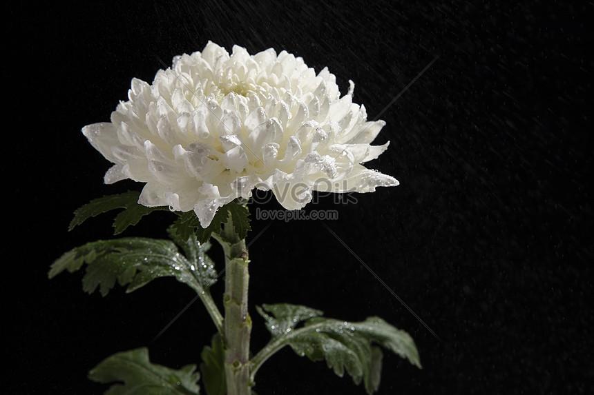 Bunga Aster Putih Gambar Unduh Gratis Foto 501275071 Format