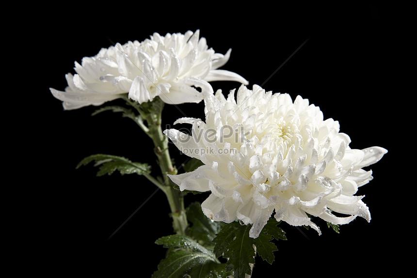 Bunga Aster Putih Gambar Unduh Gratis Foto 501275077 Format
