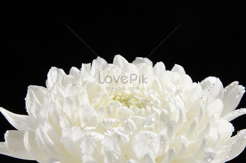 Bunga Aster Putih Gambar Unduh Gratis Foto 501275087 Format Gambar Jpg Lovepik Com